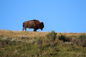 Iconic bison photograph